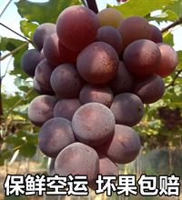现摘现发 浦江巨峰葡萄新鲜当季时令孕妇水果特产5斤包邮马陆葡萄